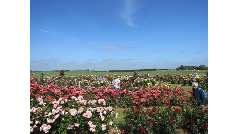 Roses Manawatū